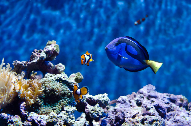 Clown fish blue tang flickr photo sharing for Blue clown fish