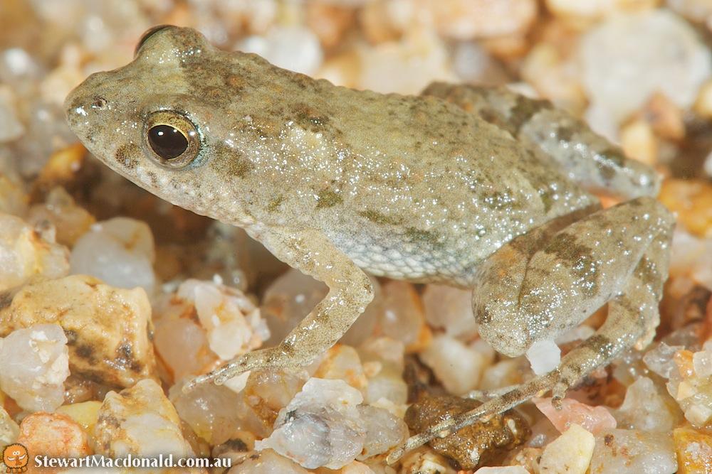 Desert froglet (Crinia deserticola)