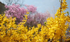 Korea_Palace_Spring_Flowers_05