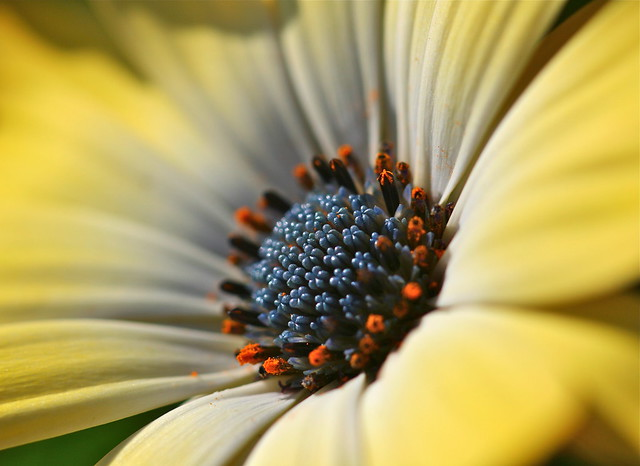 African daisy. Credit: Bill Guerriero
