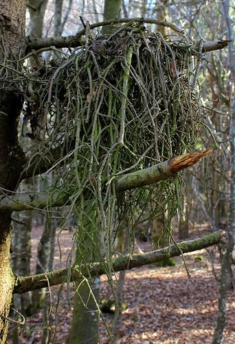 Hêtraie sapinière des Monts Breysse- 43 (7)