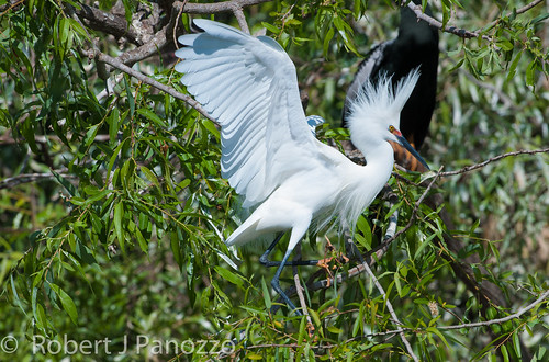 bird egret rookery snowyegret veniceareaaudubonsocietyrookery