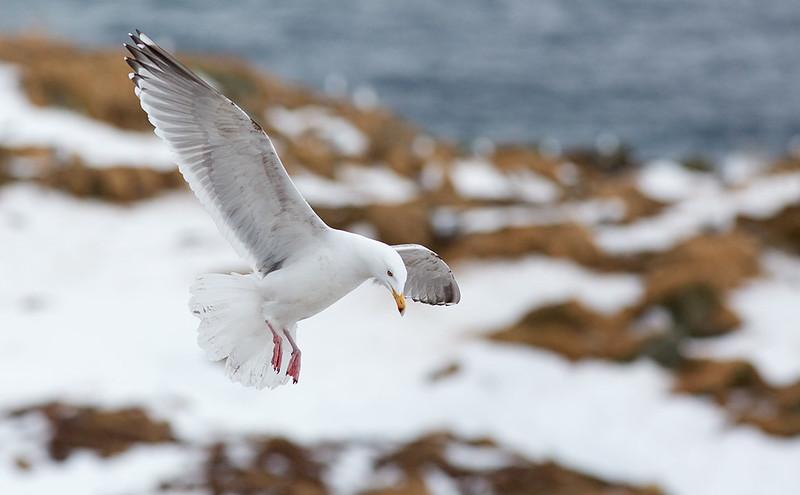 Herring Gull (uplit from the snow)
