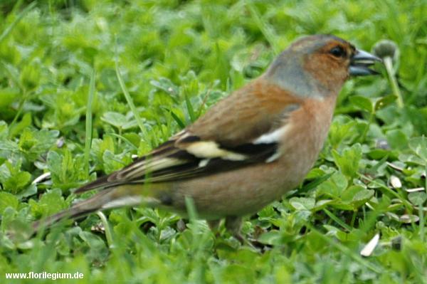 Buchfink im Garten, Fringilla coelebs