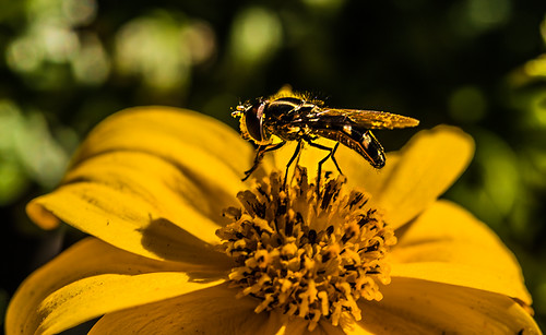 pollinating a flower in the sun by joeeisner
