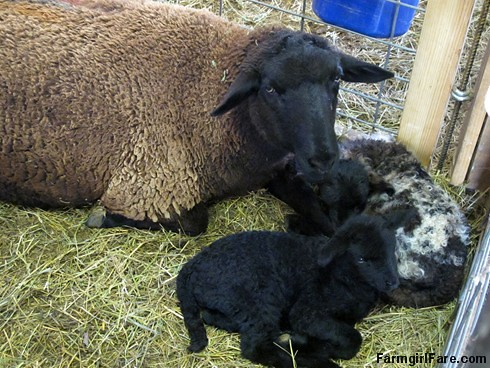 Lamb cute (4) Godiva and her twins - FarmgirlFare.com