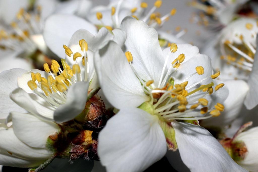 flores de un almendro