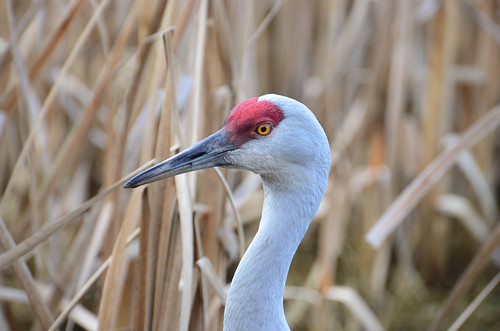 <p><i>Grus canadensis</i>, Gruidae<br /> George C. Reifel Migratory Bird Sanctuary, Delta, British Columbia, Canada<br /> Nikon D5100, 70-300 mm f/4.5-5.6<br /> February 17, 2013</p>