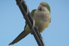 Monk Parakeet, Carteret, NJ