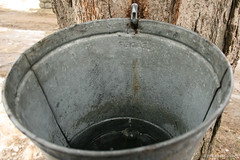 Sat 02.23.2013  2:24 pm - Maple sugaring starts with tapping a maple at the right time of the year and collecting the sap one drip at a time!