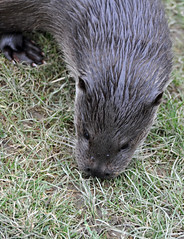 animal, grass, rodent, fauna, marmot, whiskers, wildlife,