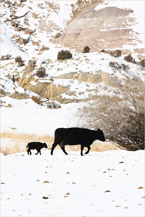 cowpairrocks