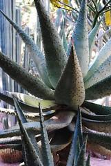 flower(1.0), plant(1.0), agave azul(1.0),