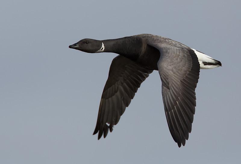 Brent Goose (dark-bellied)