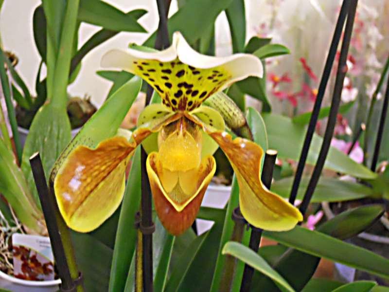 Jardineros En Accion Cuidados De Las Orquideas Del Genero - Cuidados-de-la-orqudea