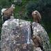 Griffon Vultures (Byron Palacios)