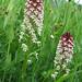 Burnt-tip Orchid (Adela Hepworth)