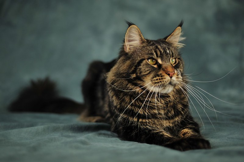 Odin, maine coon, 2 years