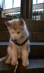 [Scrapbook] Link the Siberian Husky - Page 3 8533318532_fb08a953a3_m