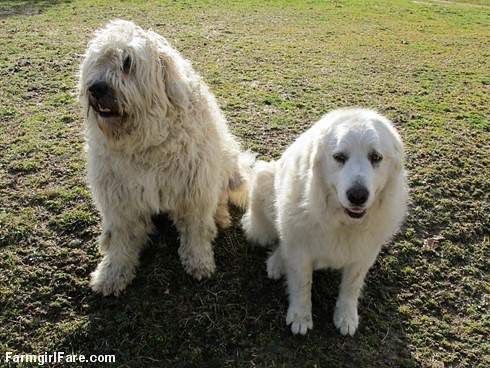 All in a day (6) - Marta Beast and Daisy, our awesome livestock guardin dog duo - FarmgirlFare.com