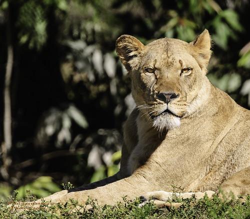 zoo florida miami lion lioness metrozoo miamimetrozoo zoomiami