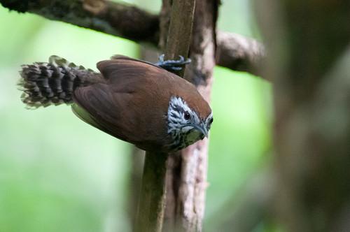 birds animals ecuador wrens loja animalia vertebrates troglodytidae specklebreastedwren pheugopediussclateri
