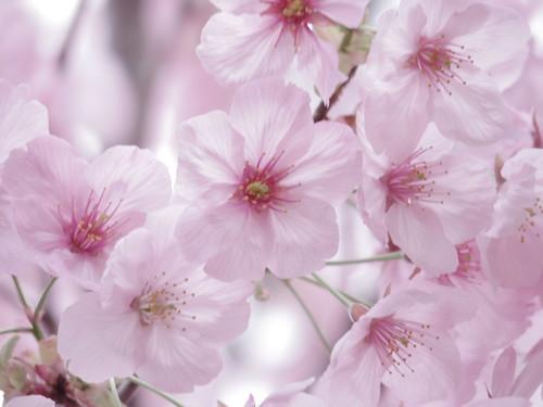 Sakura bloom in Tokyo 11