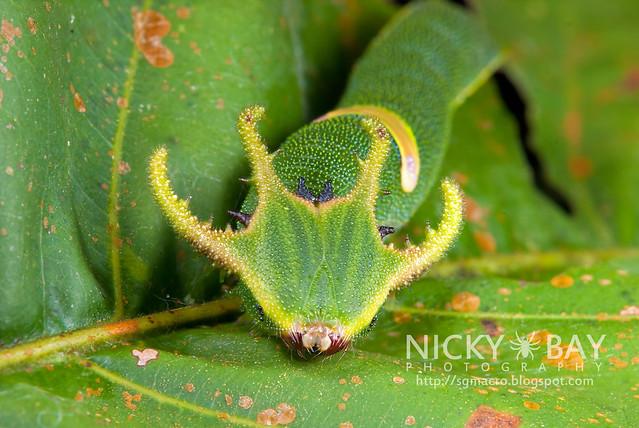Plain Nawab butterfly (Polyura hebe plautus) - DSC_5263
