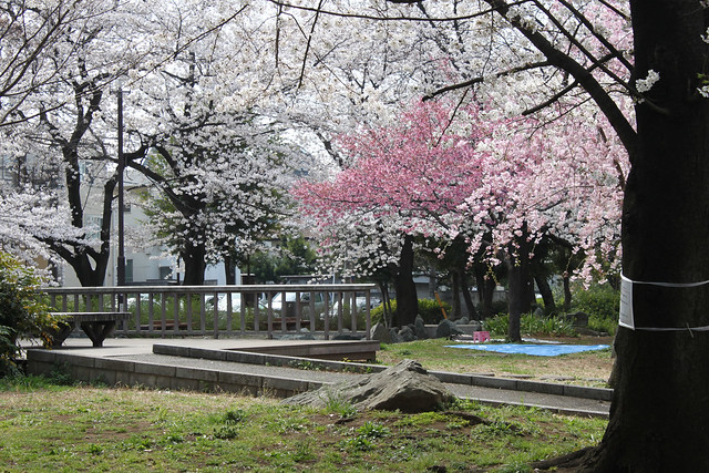 Ayase walk with cherry blossoms
