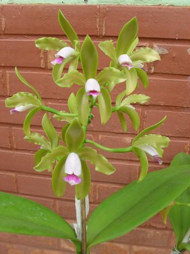 C. guttata semialba by moises.bravim