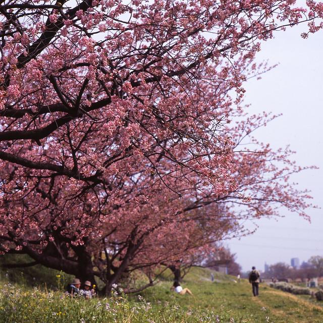 早咲き桜の花見