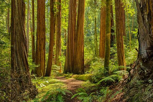 redwoods bigbasin bigbasinredwoodsstatepark d800e