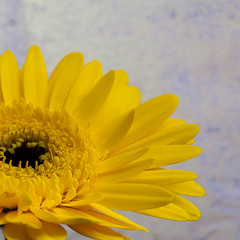 Bright Yellow Gerbera, hopefully the sign of things to come.