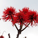 Erythrina abyssinica - Common Coral Tree
