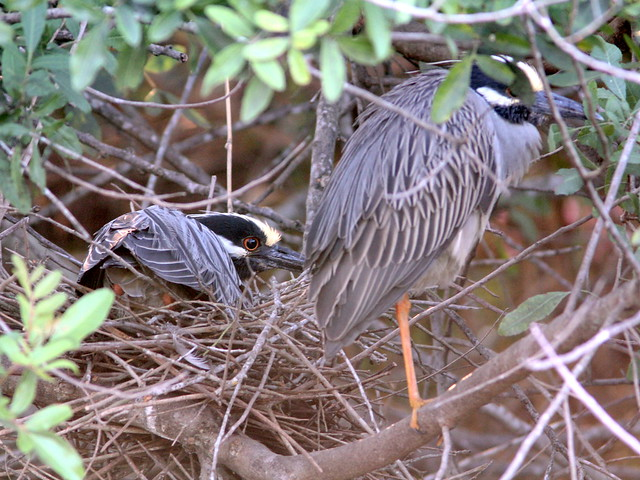 Yellow-crowned Night-Heron pair incubating nest 13-5 non-HT20130406