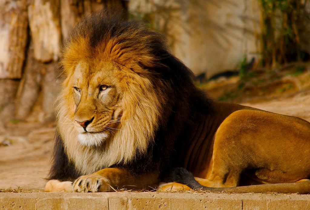 Lion WLD_4951