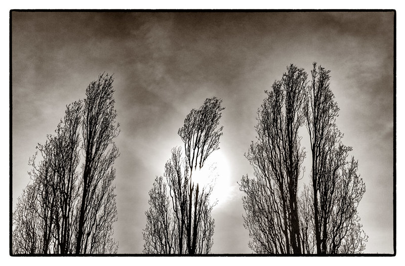 A Trio of Trees - feathers