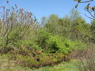 Old field habitat suitable for New England cottontail