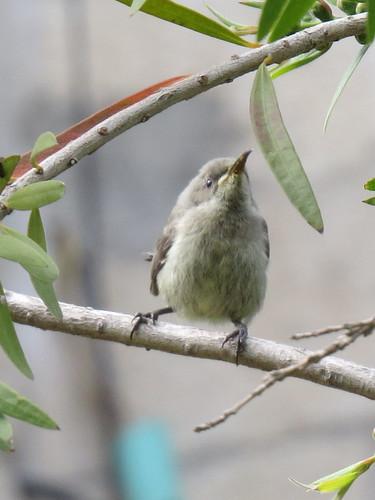 juvenile_sunbird-001