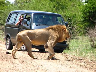 Fotografiando un león.