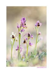 Ophrys tenthredinifera Hipocromática