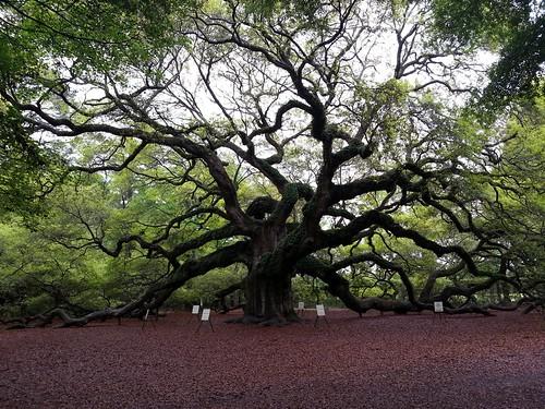 interestingness southcarolina charleston explore angeloak johnsisland angeloakpark quercusvirginiana anamazingoldtree