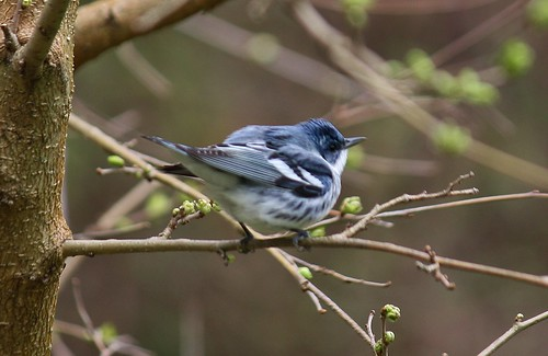 Cerulean Warbler by Alex Champagne, on Flickr