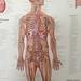 Small photo of Human Body