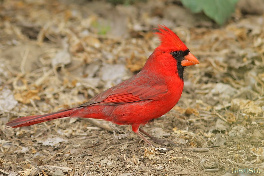 Northern Cardinal 042013-3
