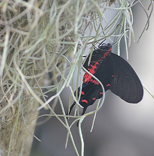 Atrophaneura semperi hangs amidst Spanish Moss