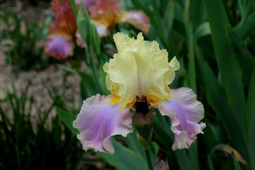 Nos Iris : floraisons 2012 - Page 2 8664938606_65ceac9f5c