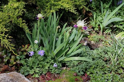 Iris nains (28)