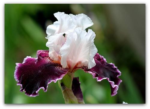 Iris - floraisons 2011 - Page 2 8665677098_c3614b9dca