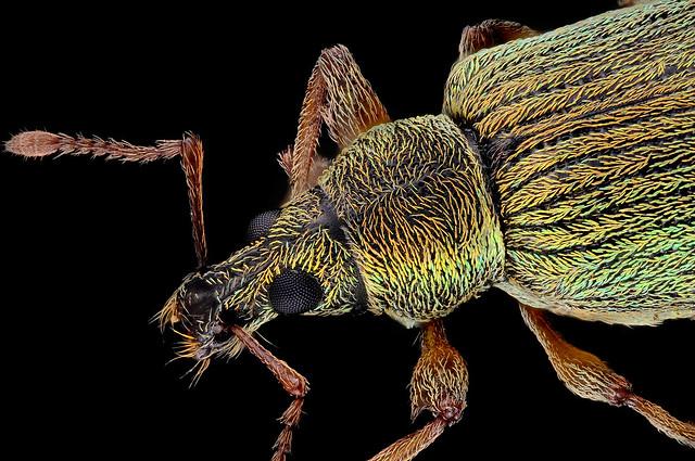 Phyllobius (Phyllobius) japonicus